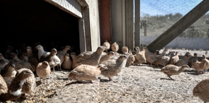 Out of buildings : farm quail